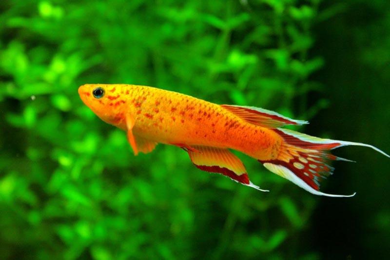 Афиосемион в аквариуме