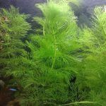 Зеленое растение Амбулия
