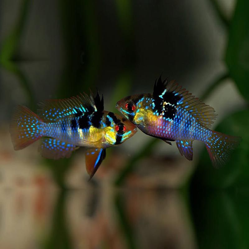 Рыбки Рамирези