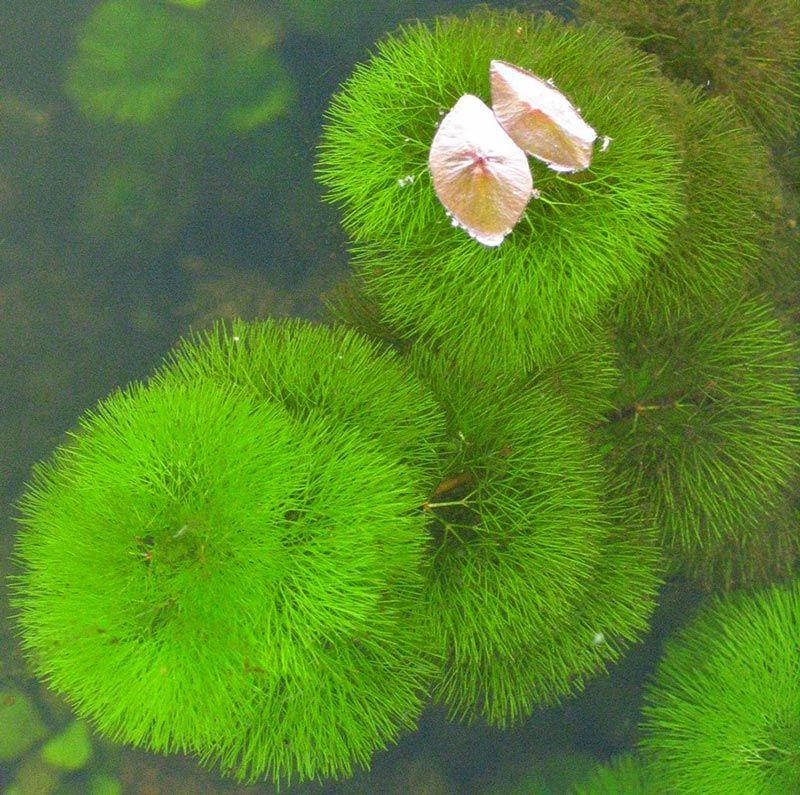 Cabomba aquatica