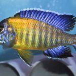 Желто-синяя Аулонокара