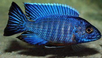 Аулонокара и ее виды, фото, описание, содержание в аквариуме