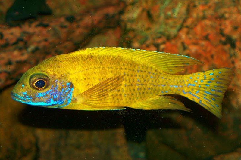Желтая с синим пятнышком