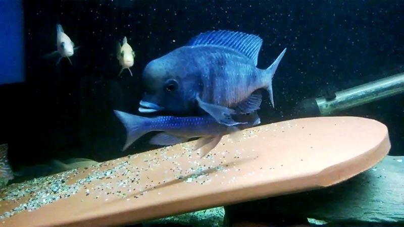 Кормление Голубого Дельфина
