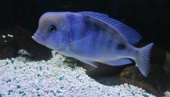 Голубой дельфин: описание, содержание в аквариуме, фото
