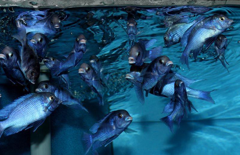 Стайка Голубых Дельфинов
