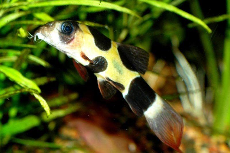 Черные пятна у рыбки