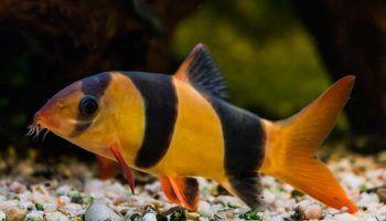 Боция Клоун: фото, содержание в аквариуме, совместимость с другими рыбами