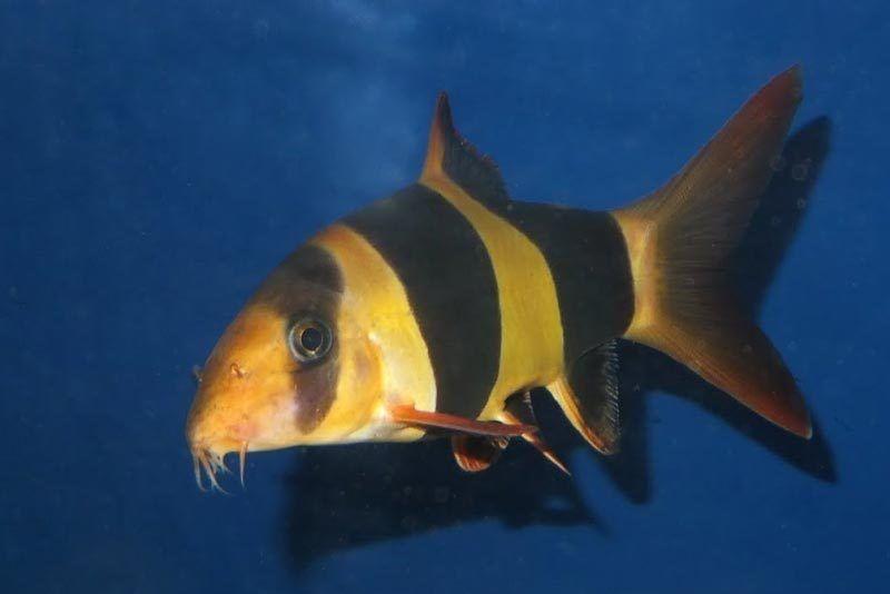 Оранжевая в черную полосу рыбка