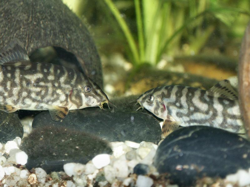 Мраморные рыбки