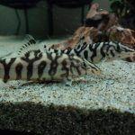 Две рыбкии боции