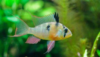 Боливийская бабочка: содержание рыбки, фото