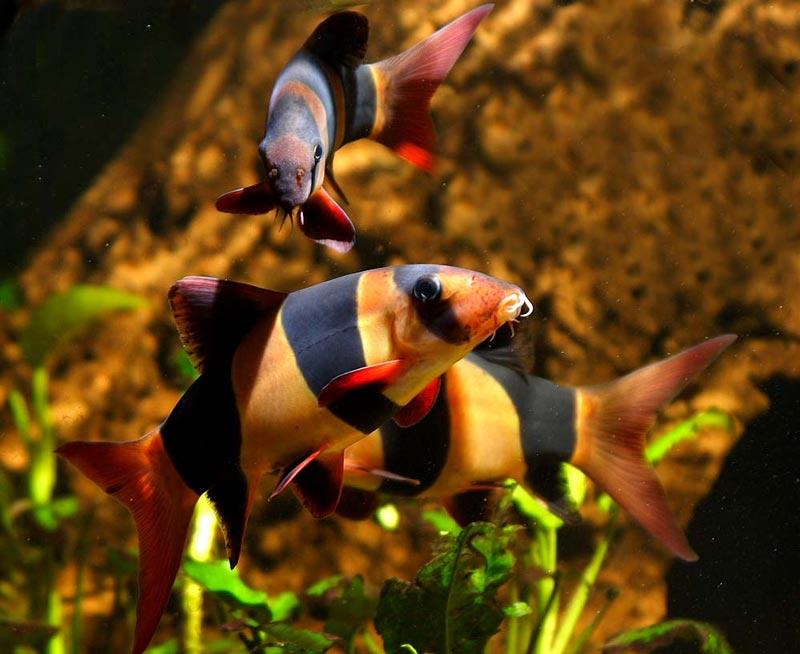 Боции в аквариуме
