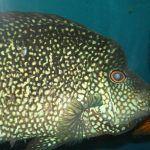 Большая цихлазома в аквариуме