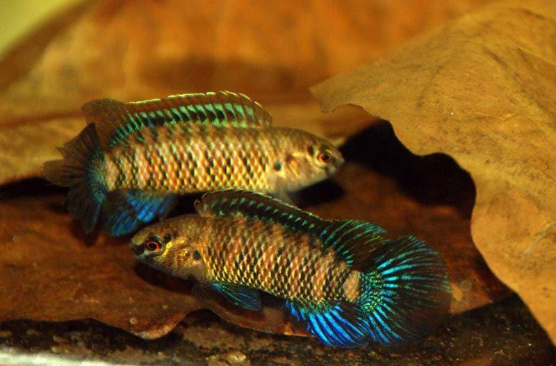 Рыбы-Хамелеоны