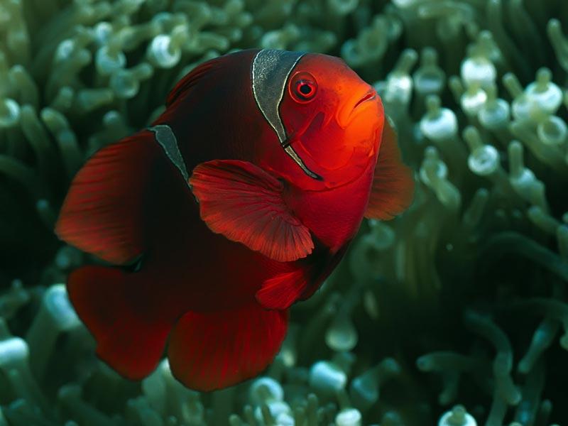Красная Рыба-клоун