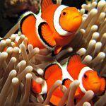 Две рыбки в анемонах