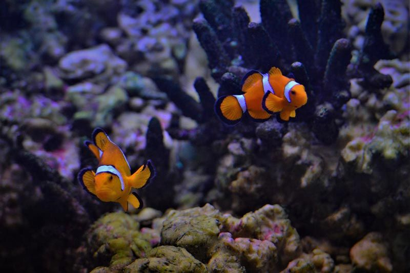 Красивые Рыбы-клоуны