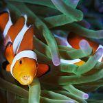Рыбы-клоуны в океане