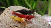 Виды аквариумных креветок, 40+ фото, содержание и уход