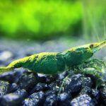 Зеленая креветка