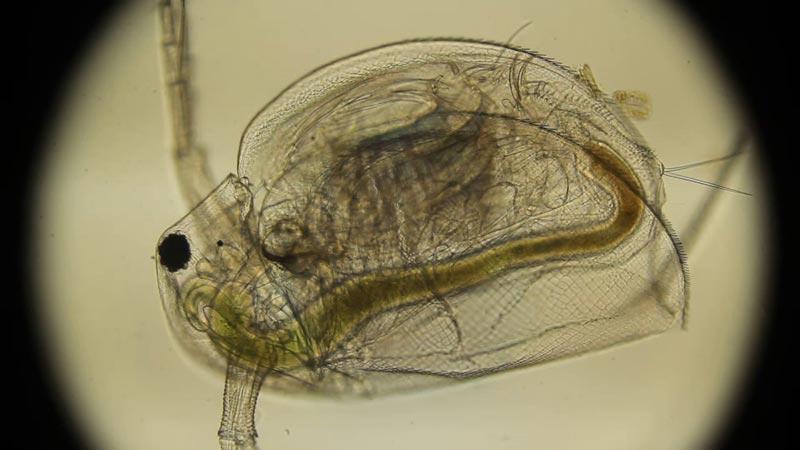 Корм для рыбок Дафния под линзой микроскопа