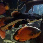 Фрактоцефалус и другие рыбки