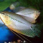 Две рыбки Гурами