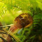 Моллюск в аквариуме
