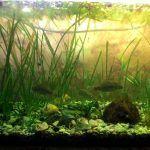 Растение ряска в аквариуме