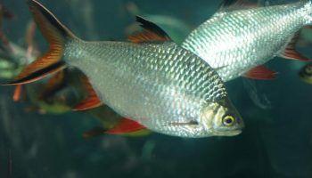 Барбус лещевидный: фото, описание, содержание в аквариуме