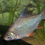 Рыбка Барбус Лещевидный