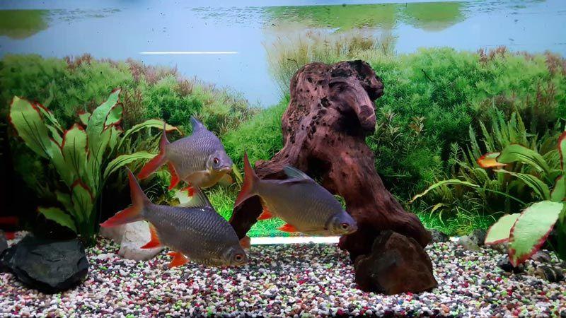 Лещевидные барбусы в аквариуме