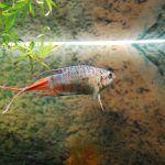 Рыбка с красным хвостом в аквариуме