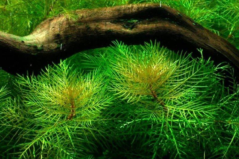 Матогросский зеленый