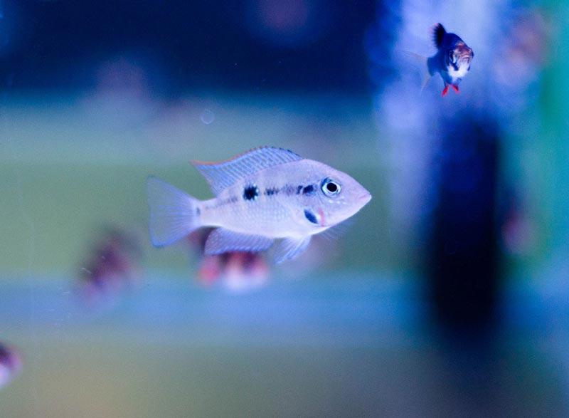 Меека в аквариуме