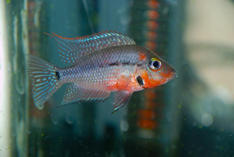 Красивая рыбка Меека