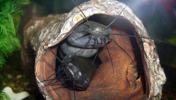 Мешкожаберный сом: фото, описание, содержание, совместимость с другими рыбами