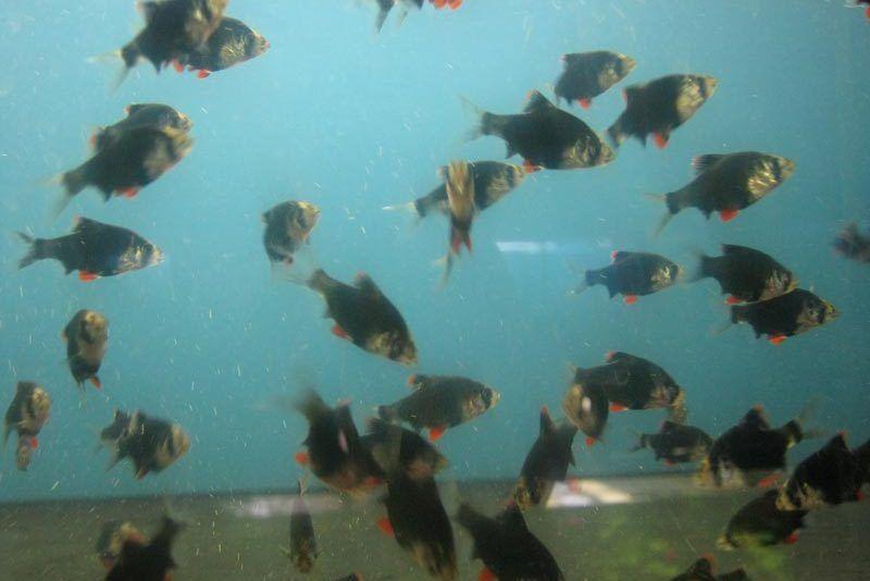 Много Барбусов в аквариуме