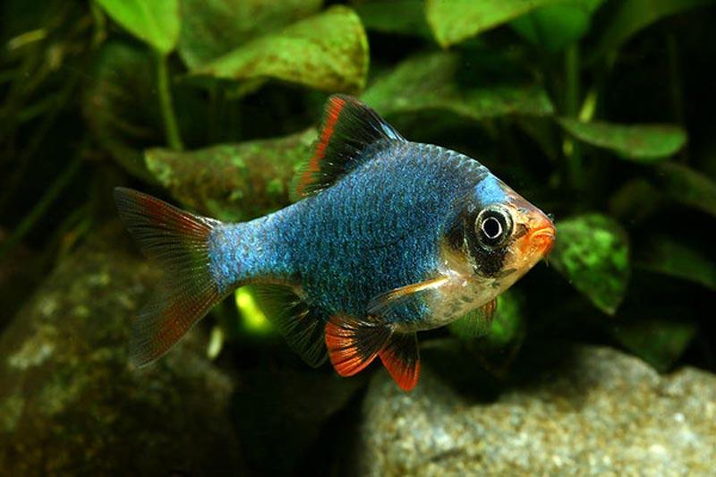 Рыбка Мшистый Барбус