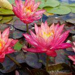 Розовые кувшинки в пруду