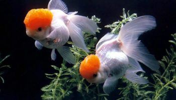 Оранда: виды рыбки, фото, содержание в аквариуме