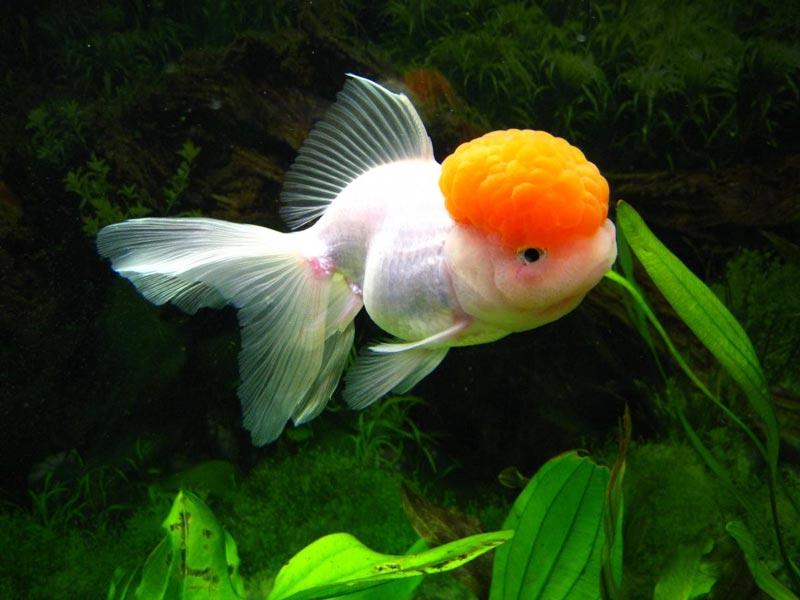 Оранжевая голова