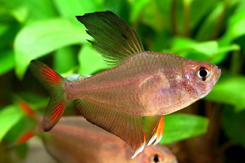 Рыбка с черным плавничком