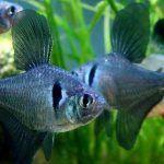 Орнатусы и другие рыбки
