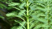 Аквариумное растение Перистолистник: виды и уход