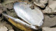Моллюски Перловицы – элемент среды аквариума