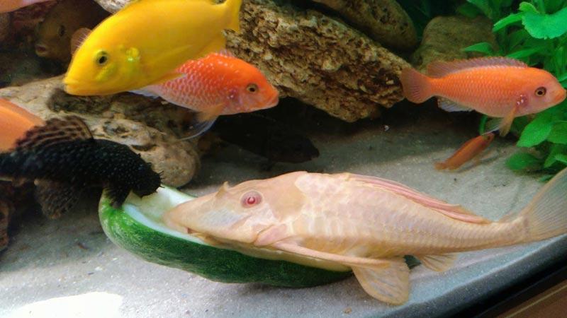 Сомик-альбинос