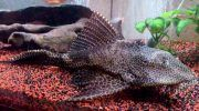 Плекостомус: фото, описание, содержание сомика в аквариуме