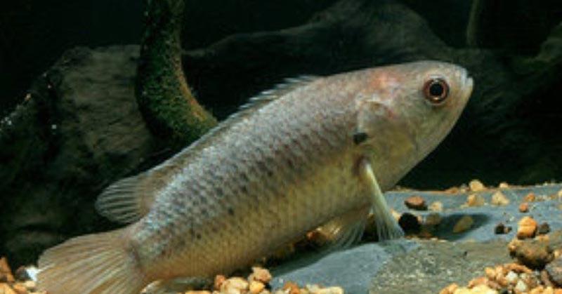 Рыбы-Ползуны